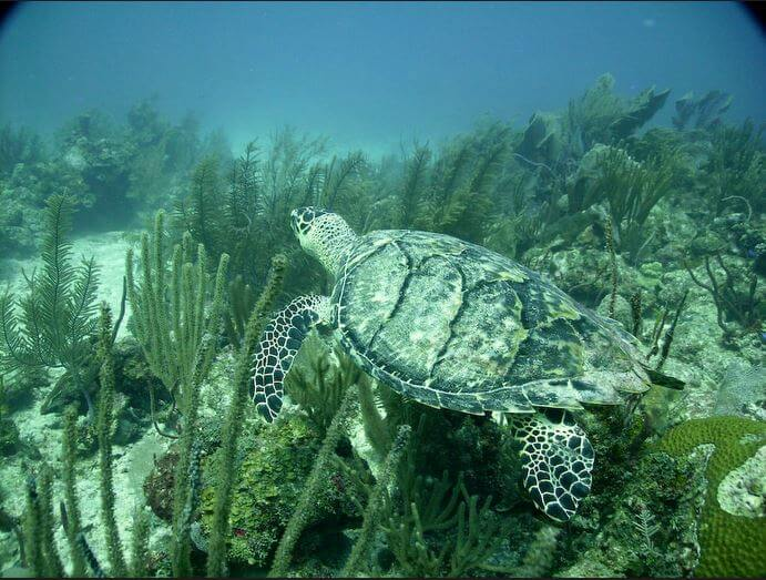 Mesoamerican-Coral-reef-Ocean-Scuba-Diving-45