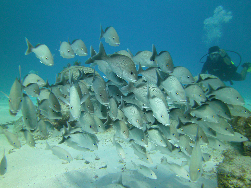 Scuba-Diving-Isla-Mujeres-Fish-CareyDiveCenter-20