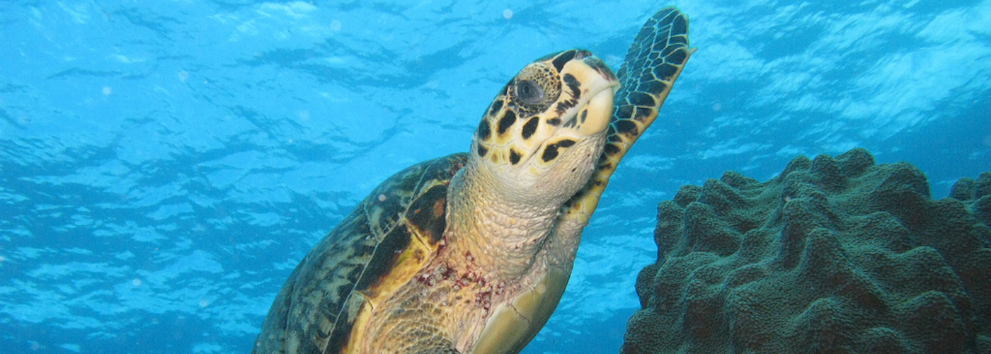 Scuba Dive with Sea Turtles!