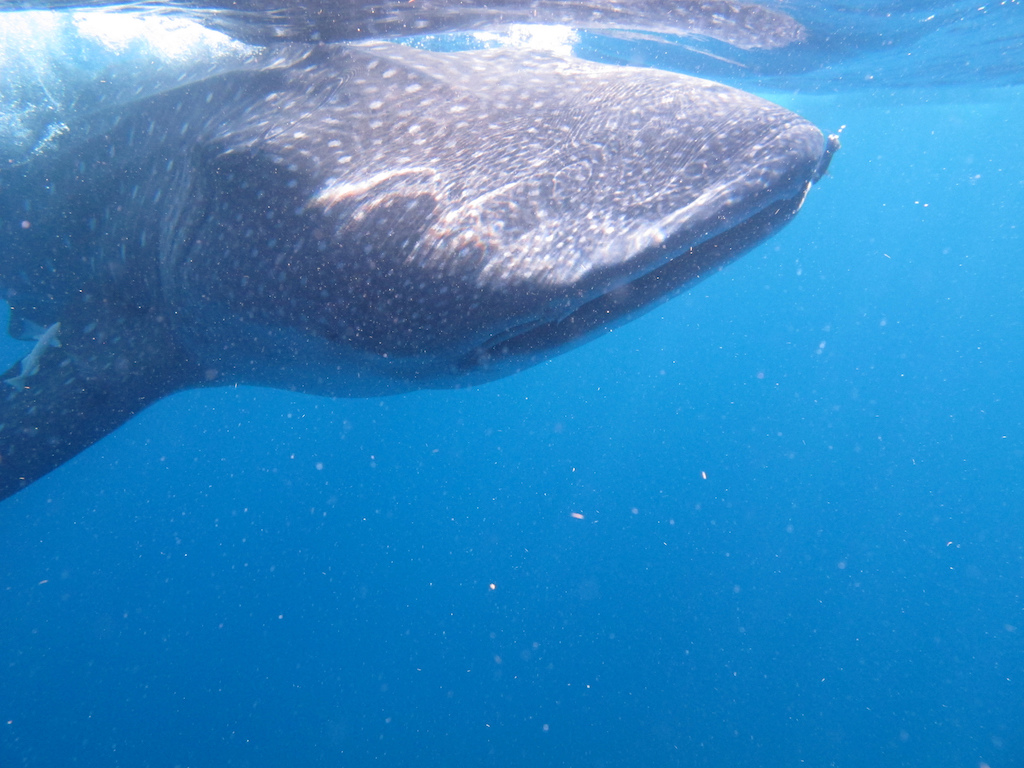 Whale-Shark-Tours-Isla-Mujeres-Mexico-1