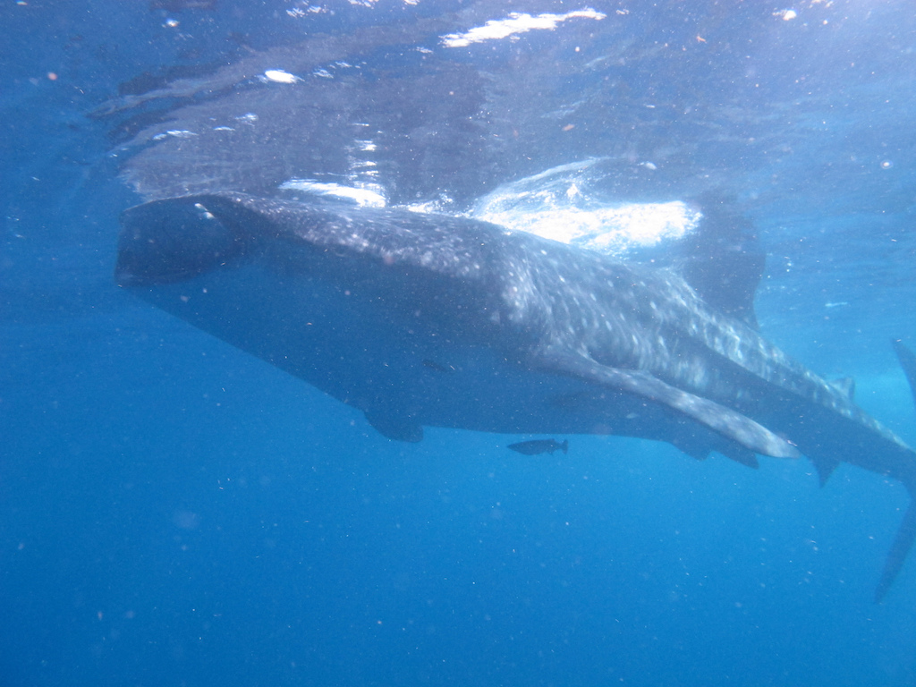 Whale-Shark-Tours-Isla-Mujeres-Mexico-3