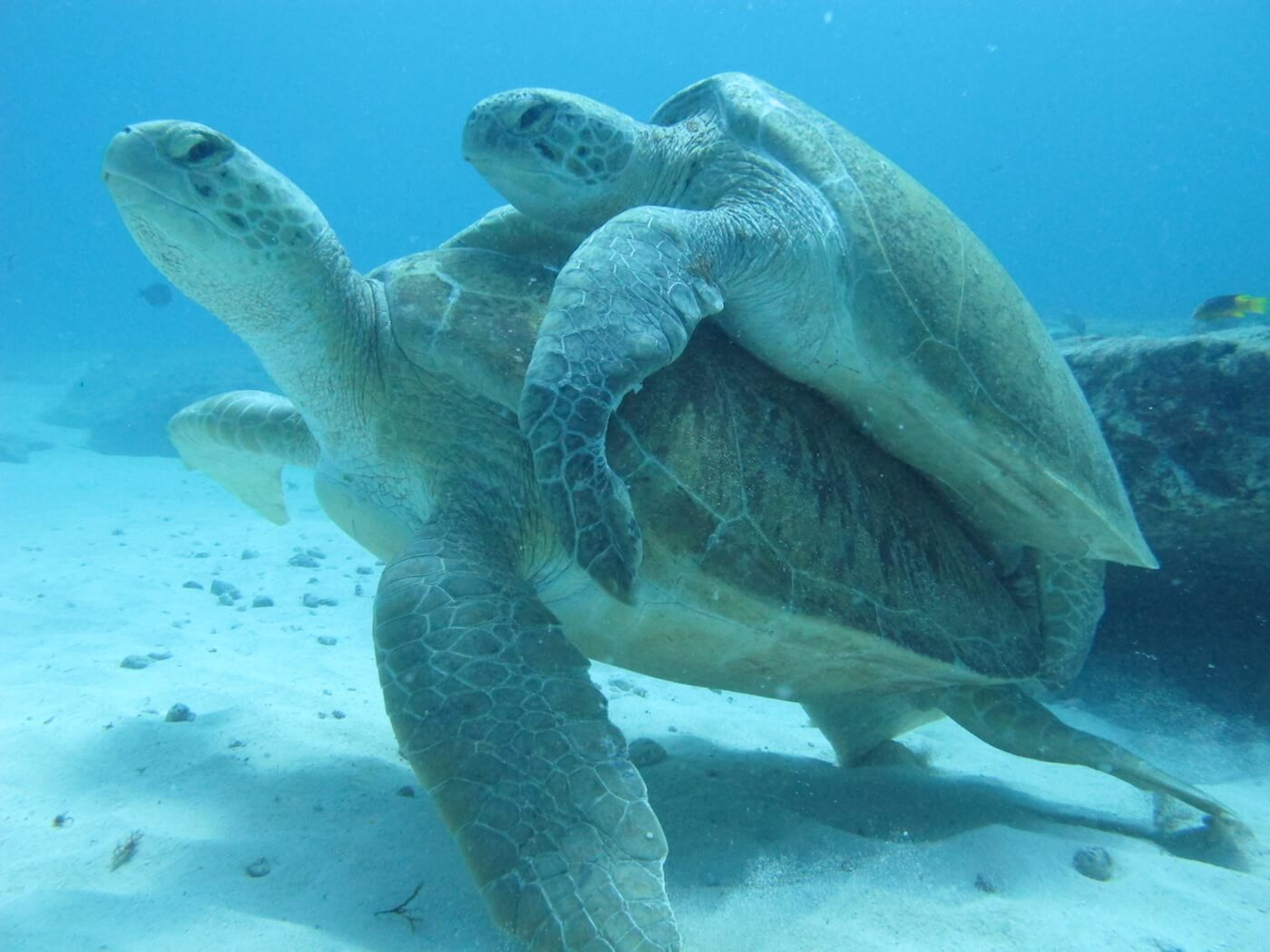 Sea-Turtle-Snorkeling-Scuba-Diving-Tours-Isla-Mujeres-Carey-Dive-Center-1