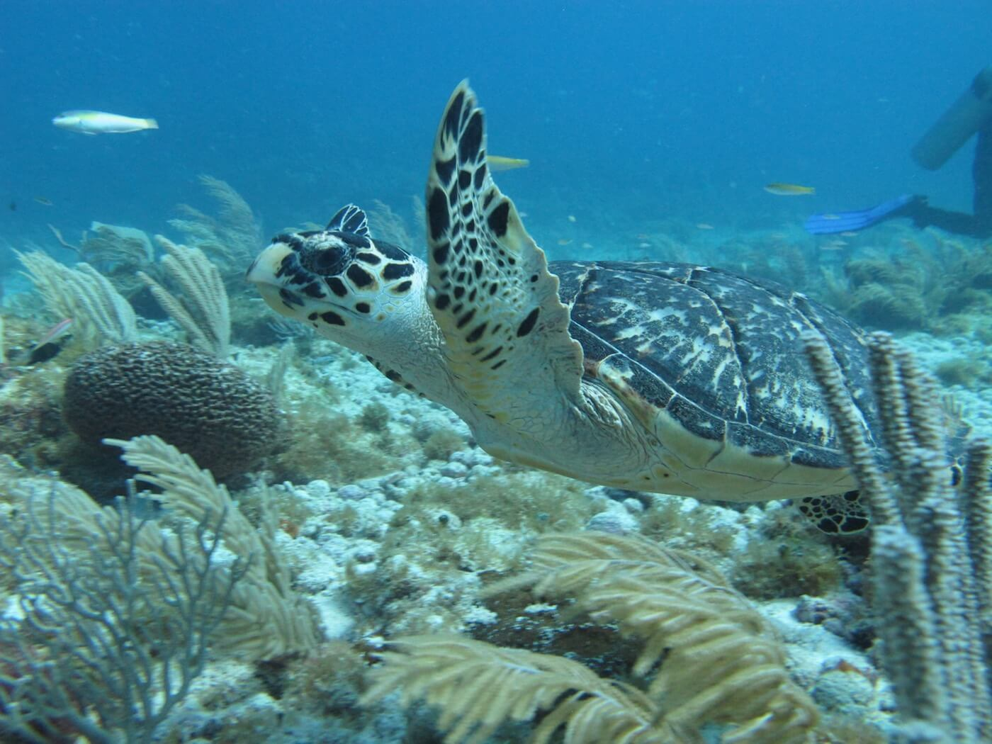 Sea-Turtle-Snorkeling-Scuba-Diving-Tours-Isla-Mujeres-Carey-Dive-Center-10