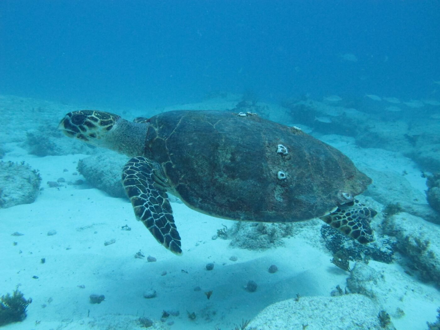 Sea-Turtle-Snorkeling-Scuba-Diving-Tours-Isla-Mujeres-Carey-Dive-Center-2