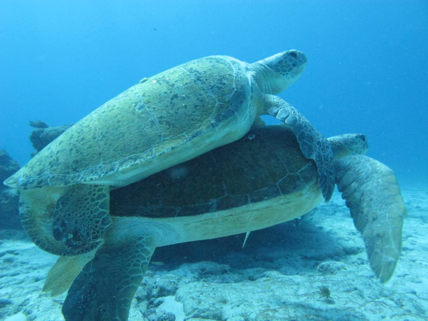 Sea-Turtle-Snorkeling-Scuba-Diving-Tours-Isla-Mujeres-Carey-Dive-Center-4
