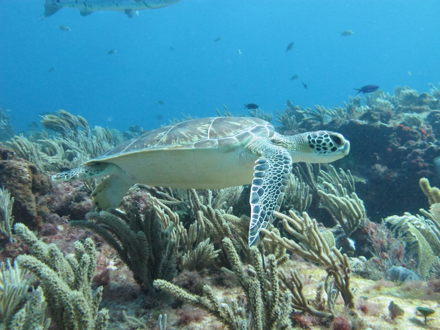 Sea-Turtle-Snorkeling-Scuba-Diving-Tours-Isla-Mujeres-Carey-Dive-Center-5