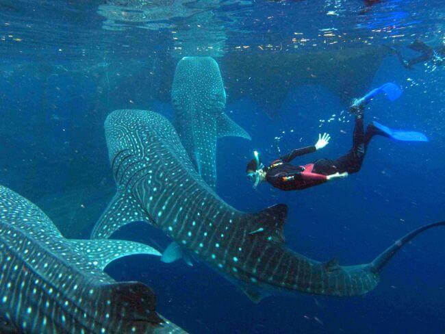 Whale-Shark-Snorkeling-Tours-Isla-Mujeres-Carey-Dive-Center-1