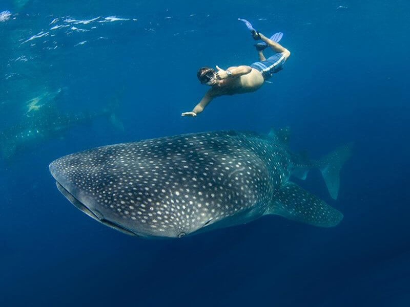 Whale-Shark-Snorkeling-Tours-Isla-Mujeres-Carey-Dive-Center-3