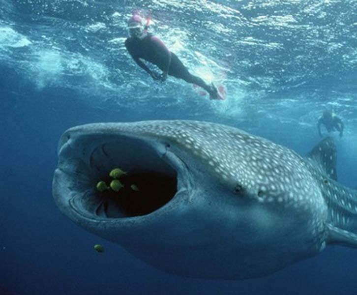 Whale-Shark-Snorkeling-Tours-Isla-Mujeres-Carey-Dive-Center-4
