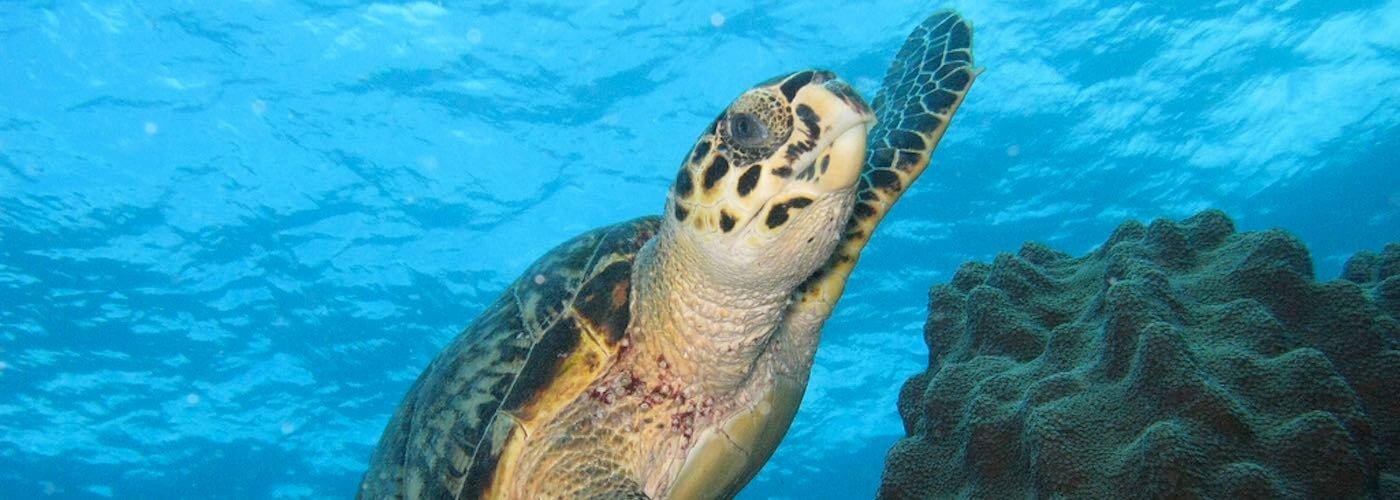 Scuba Dive with Sea Turtles!