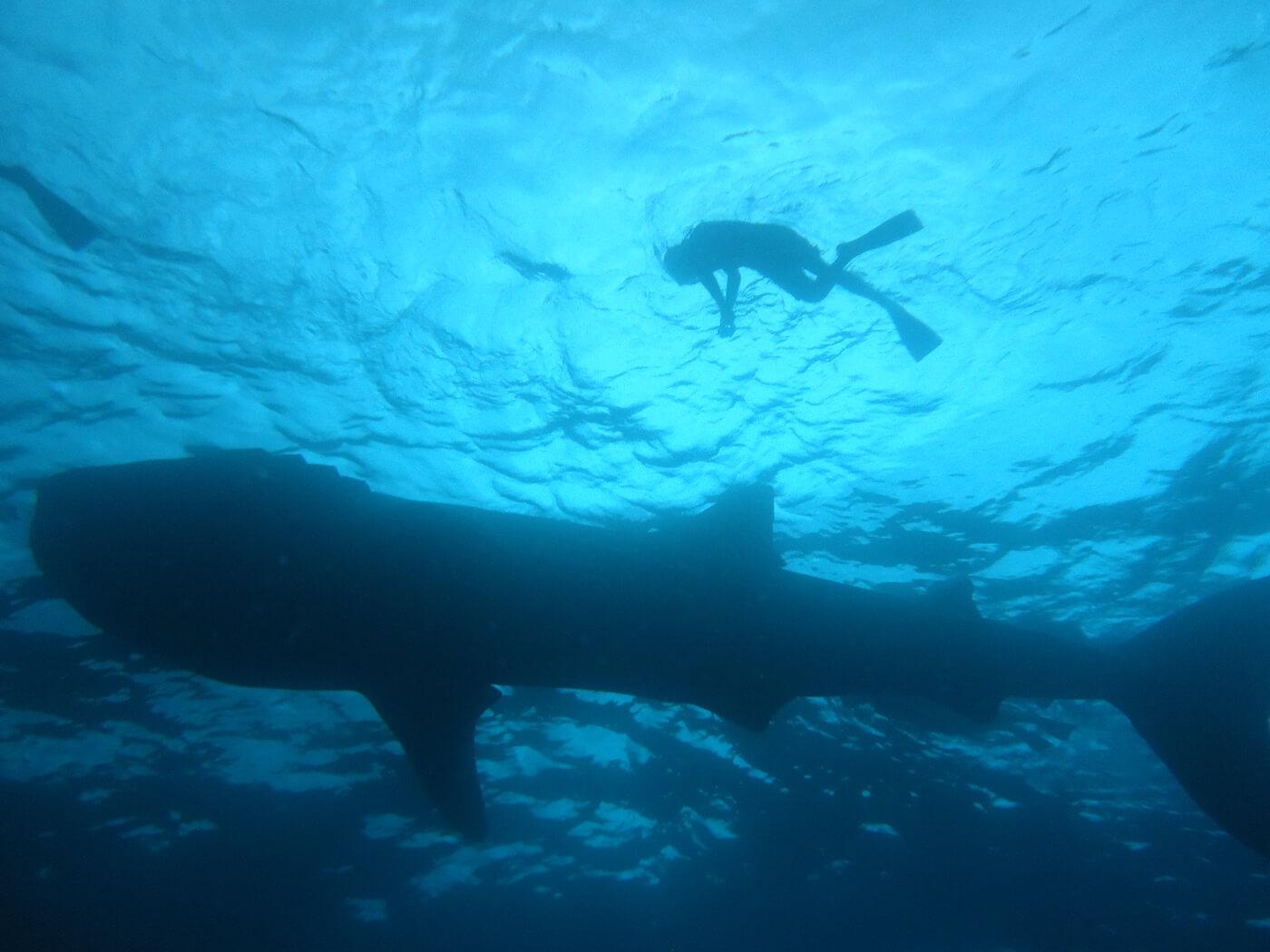 Whale-Shark-Tours-Cancun-Isla-Mujeres-Riviera-Maya-1