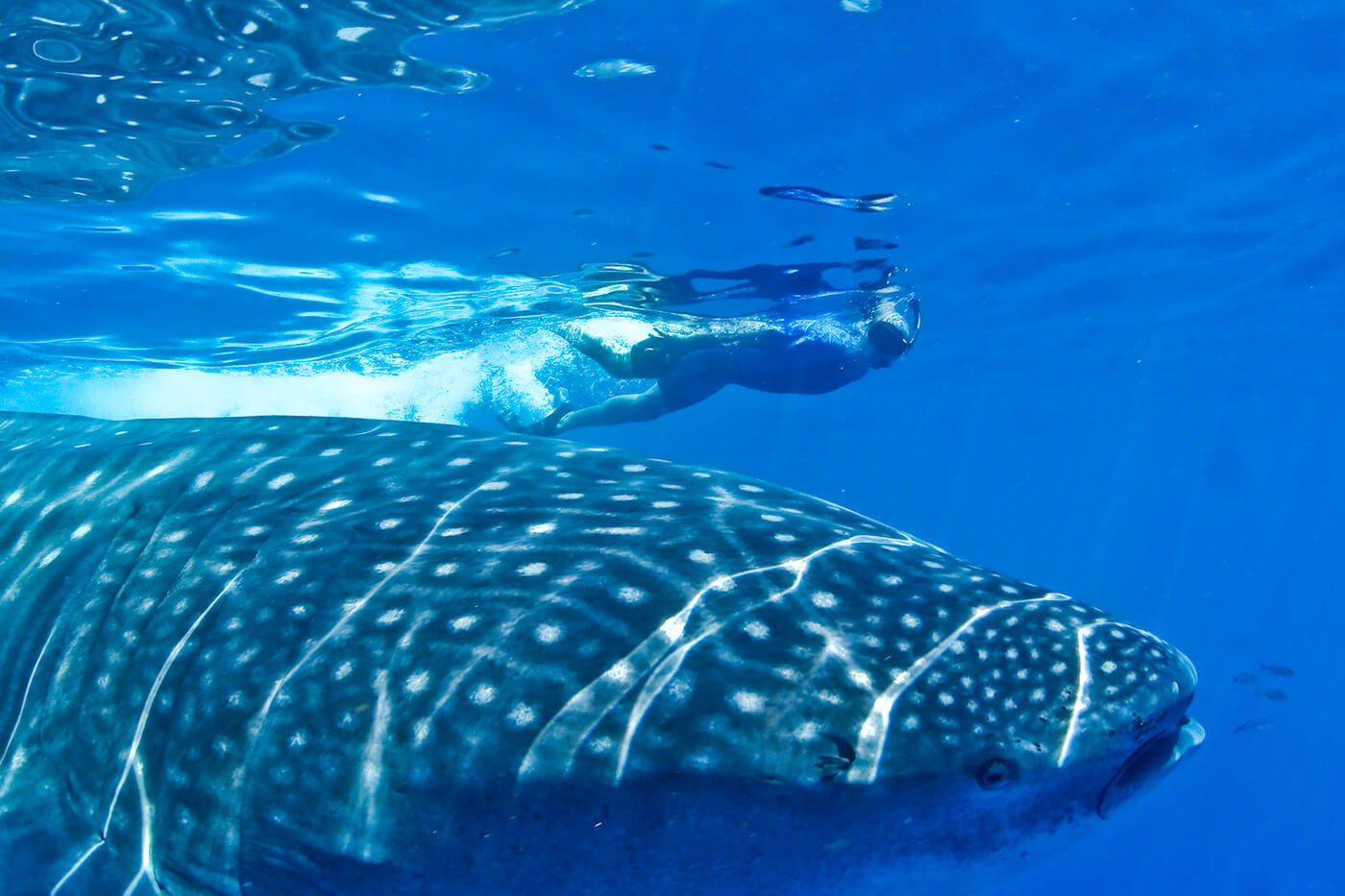 Whale-Shark-Tours-Cancun-Isla-Mujeres-Riviera-Maya-11