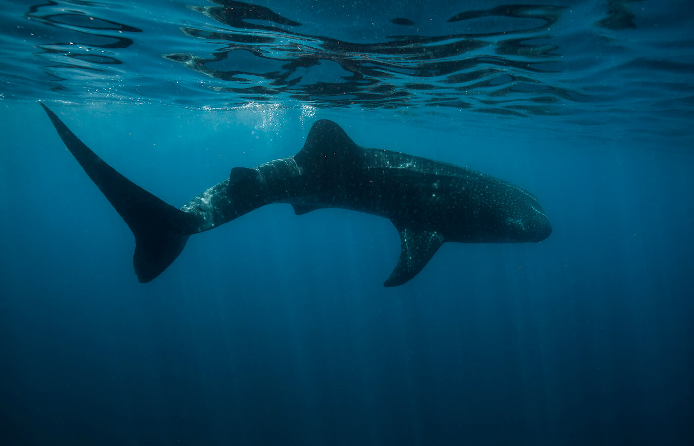 Whale-Shark-Tours-Cancun-Isla-Mujeres-Riviera-Maya-13