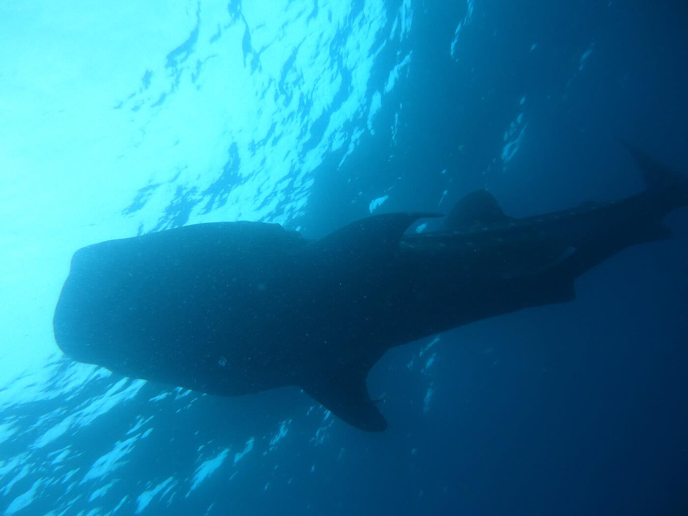 Whale-Shark-Tours-Cancun-Isla-Mujeres-Riviera-Maya-15