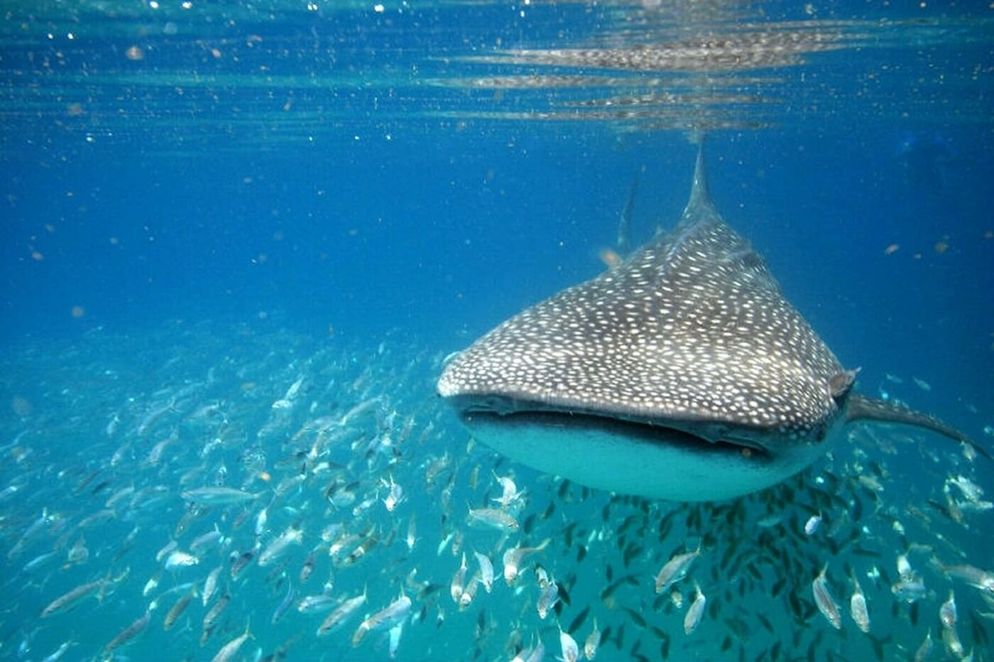Whale-Shark-Tours-Cancun-Isla-Mujeres-Riviera-Maya-2