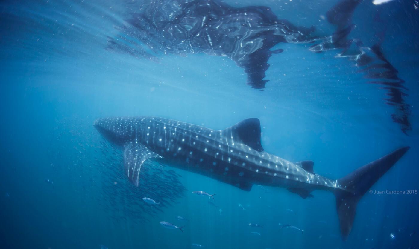 Whale-Shark-Tours-Cancun-Isla-Mujeres-Riviera-Maya-8