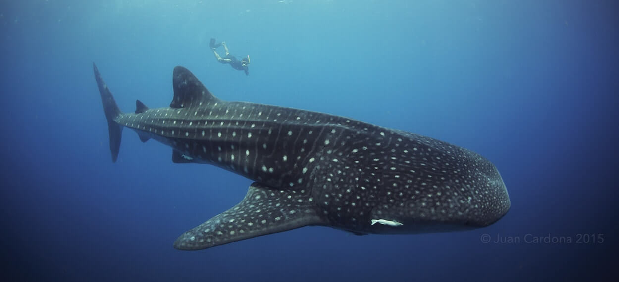 Whale-Shark-Tours-Snorkel-Cancun-Isla-Mujeres-Riviera-Maya-8