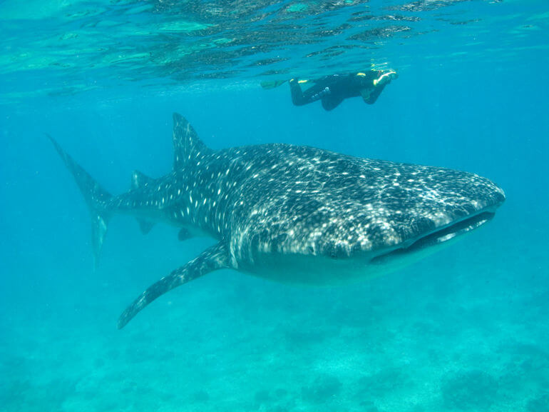 snorkeling-with-whale-shark-photo_1417578-770tall