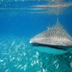 Isla Mujeres - Cancun - Whale Shark Tours - Caribbean Connection -26