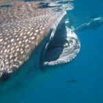 Isla Mujeres - Cancun - Whale Shark Tours - Caribbean Connection -31