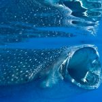 Isla Mujeres - Cancun - Whale Shark Tours - Caribbean Connection -40