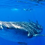 Isla Mujeres - Cancun - Whale Shark Tours - Caribbean Connection -41