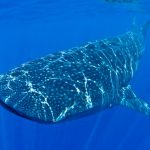 Isla Mujeres - Cancun - Whale Shark Tours - Caribbean Connection -43