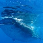 Isla Mujeres - Cancun - Whale Shark Tours - Caribbean Connection -44