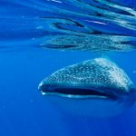 Isla Mujeres - Cancun - Whale Shark Tours - Caribbean Connection -45
