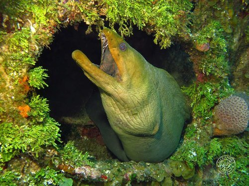 Green+Moray+eel+in+wreck++(2013)+(1+of+1)