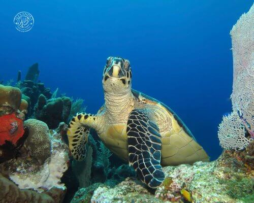 Hawksbill+turtle+(2013)+(1+of+1)