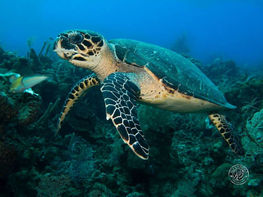Hawksbill+turtle+(Feb+16)+(1+of+1)