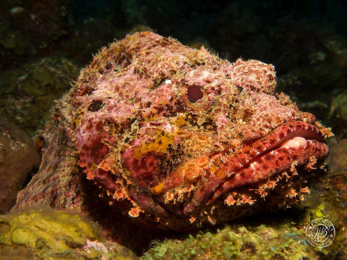 Scorpionfish-Coconut-Tree-Divers-Roatan