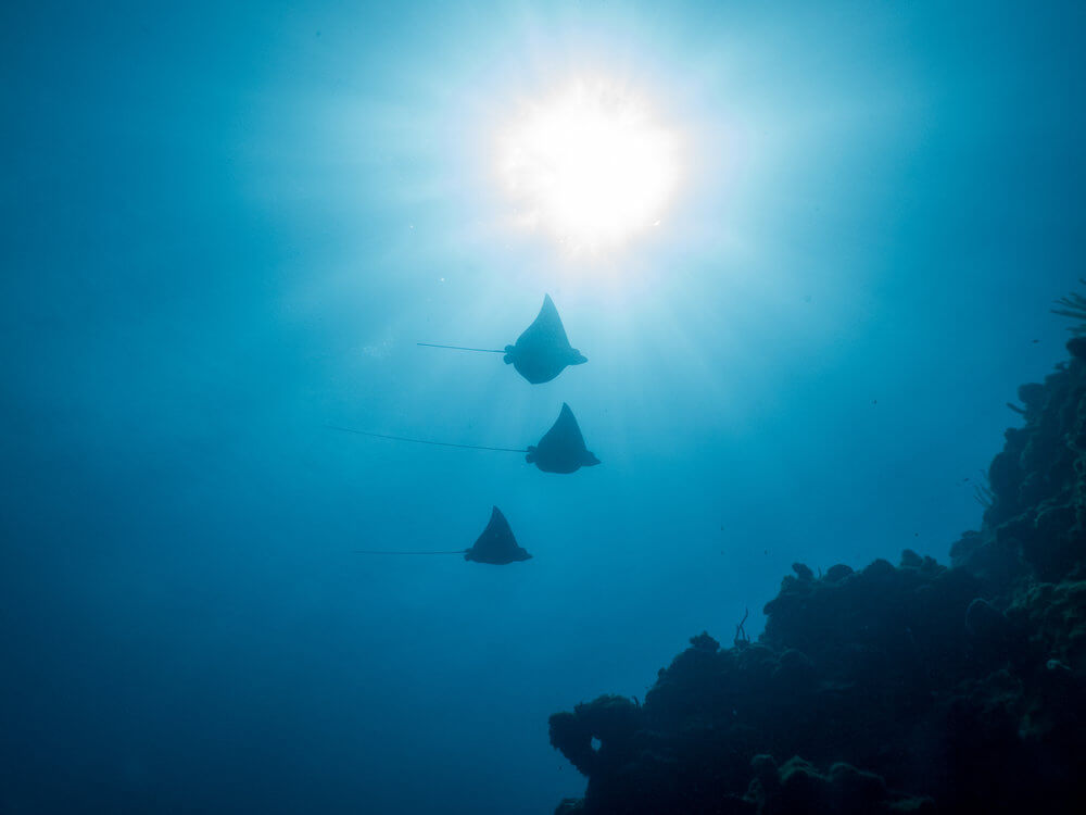 Three Eagle Rays Scuba Diving Roatan Coconut Tree Divers