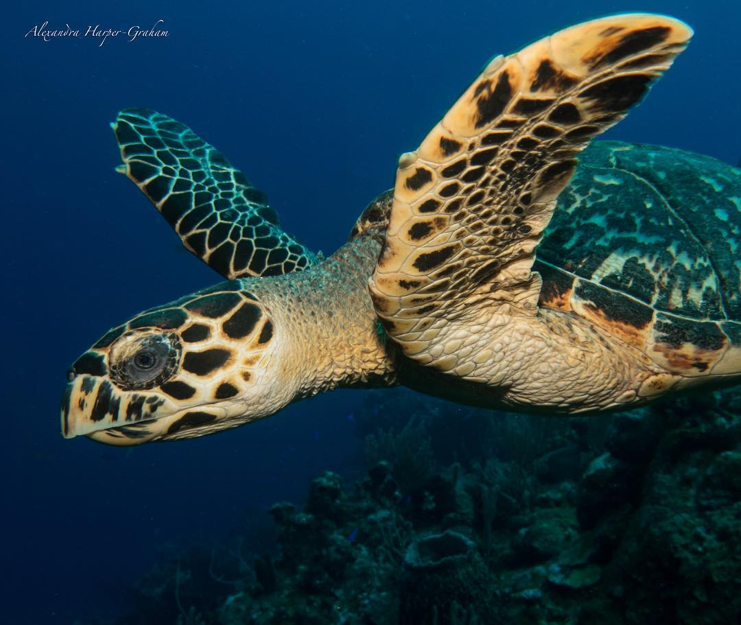 Underwater photography turtle