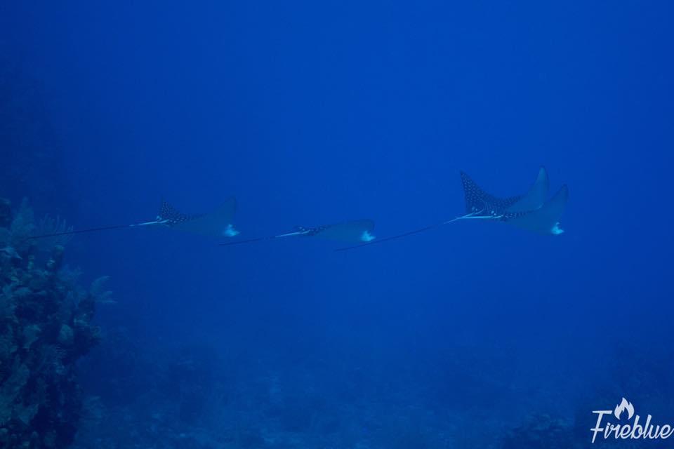 Spotted eagle rays roatan honduras scuba diving myths