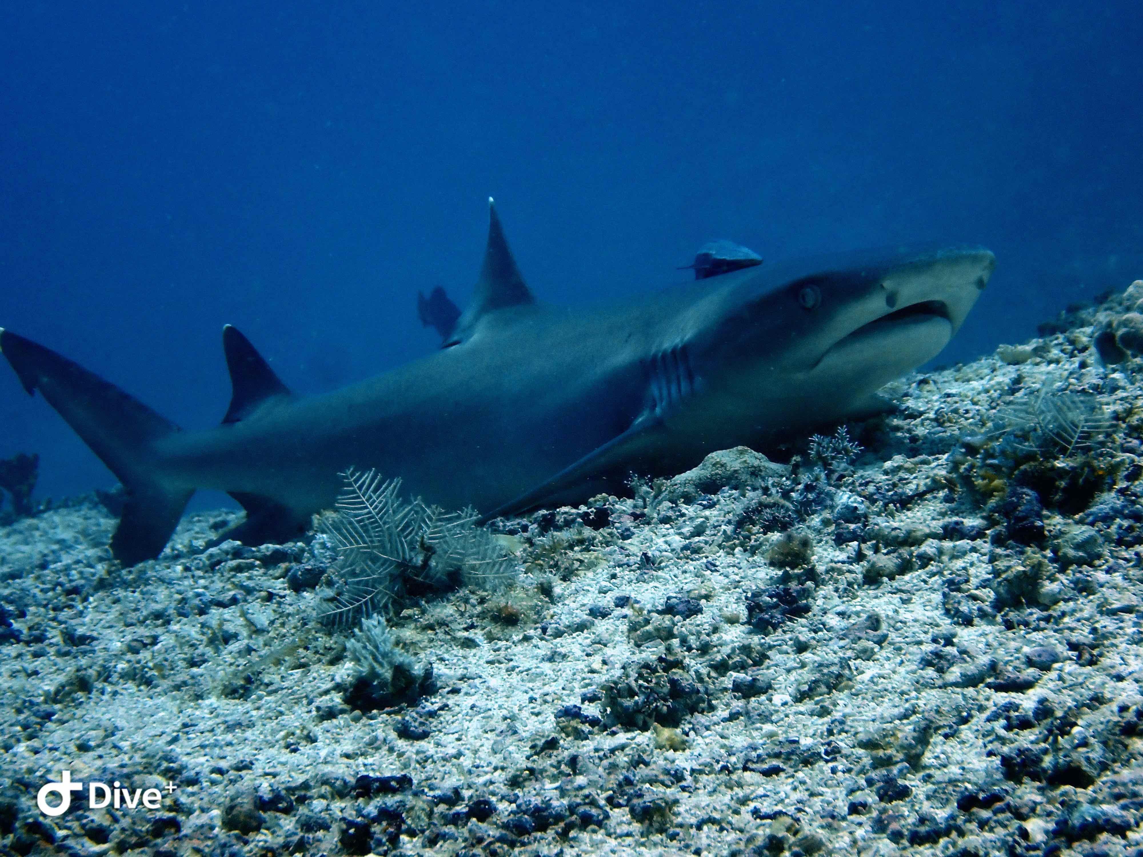 White tip shark scuba diving myths
