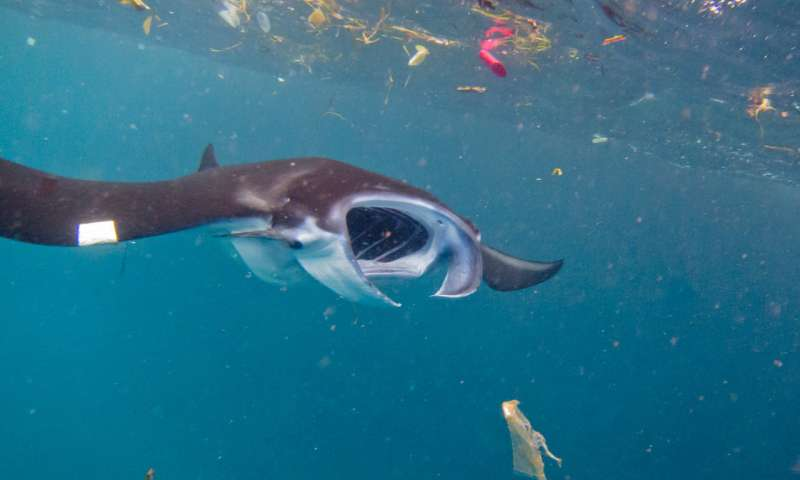 Manta ray eating plastic