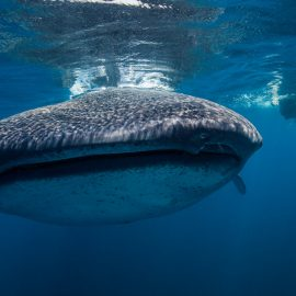 Isla-Mujeres-Cancun-Whale-Shark-Tours-Caribbean-Connection-1