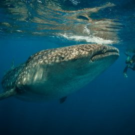 Isla-Mujeres-Cancun-Whale-Shark-Tours-Caribbean-Connection-11