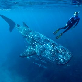 Isla-Mujeres-Cancun-Whale-Shark-Tours-Caribbean-Connection-2