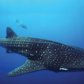 Isla-Mujeres-Cancun-Whale-Shark-Tours-Caribbean-Connection-21