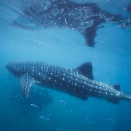 Isla-Mujeres-Cancun-Whale-Shark-Tours-Caribbean-Connection-22