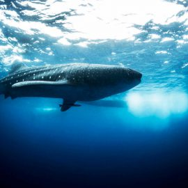 Isla-Mujeres-Cancun-Whale-Shark-Tours-Caribbean-Connection-24
