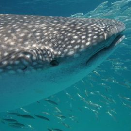 Isla-Mujeres-Cancun-Whale-Shark-Tours-Caribbean-Connection-25