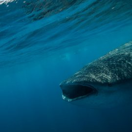 Isla-Mujeres-Cancun-Whale-Shark-Tours-Caribbean-Connection-3