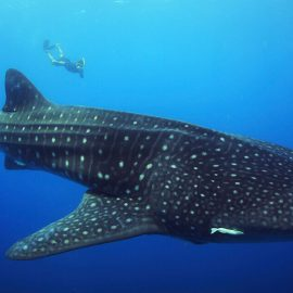 Isla-Mujeres-Cancun-Whale-Shark-Tours-Caribbean-Connection-8