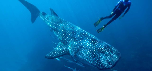 VIP Private Whale Shark Adventure