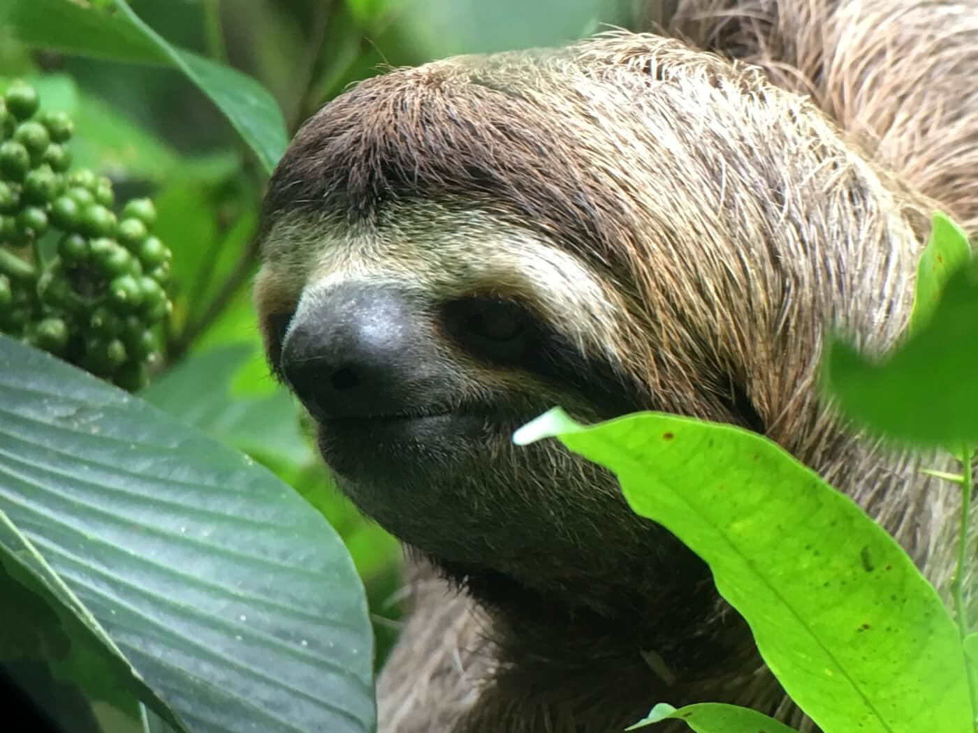 MA2 Brown throated three-toed sloth