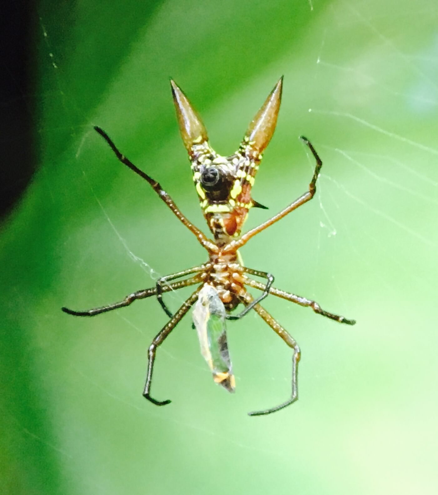 MA5 Arrow shaped micrathena spider